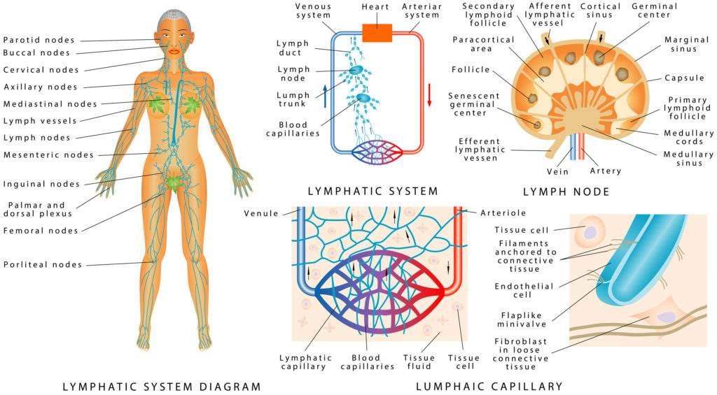Lymphatic System - roundup causes cancer lawsuit in nonhodgkin lymphoma - dolman law group